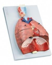 Dýchací ústrojí