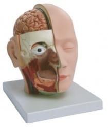 Hlava, mozek a nervový systém