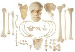 Kosti a části kostry