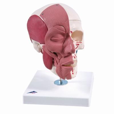 A300 - Lebka s obličejovými svaly