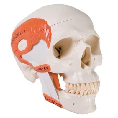 A24 - TMJ model lidské lebky se žvýkacími svaly, 2 části