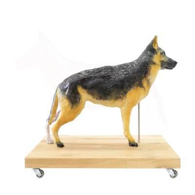 M01574 - Výukový model psa, 11 částí, 2/3 životní velikosti