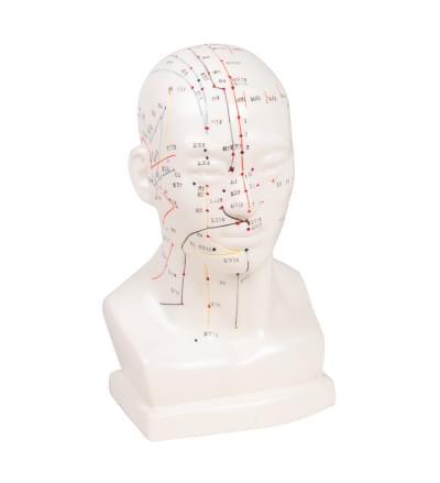 Model hlavy pro akupunkturu