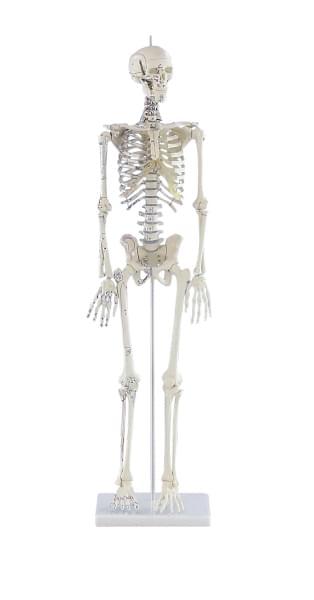 """3035 - Mini-kostra """"Daniel"""" s naznačenými svaly"""