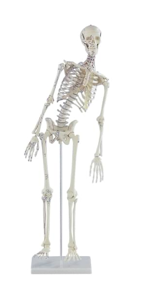 """3045 - Mini-kostra """"Fred"""" s ohebnou páteří a naznačenými svaly"""