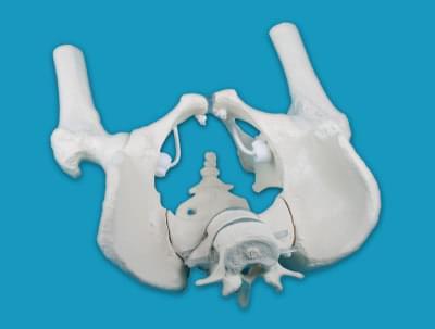 4057 - Mužská pánev s křížovou kostí, dvěma bederními obratli a částmi stehenních kostí