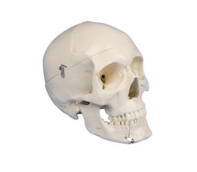 4513 - Dentální lebka, 4 části