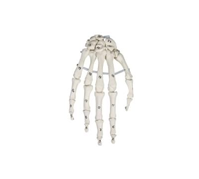 6002 - Kostra ruky s číslovanými kostmi