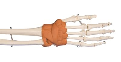 6010 - Model ruky a zápěstí