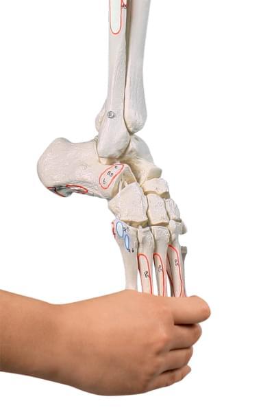 6072 - Kostra dolní končetiny s polovinou pánve a ohebným chodidlem, s naznačenými svaly