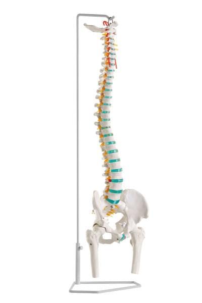 A251 - Ohebná páteř s částmi stehenních kostí