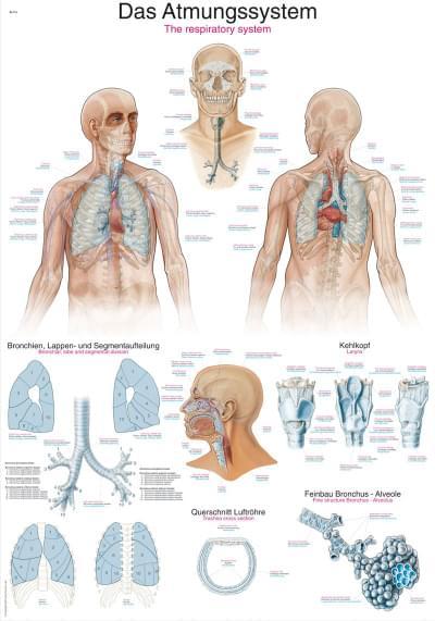 AL116 - Dýchací ústrojí
