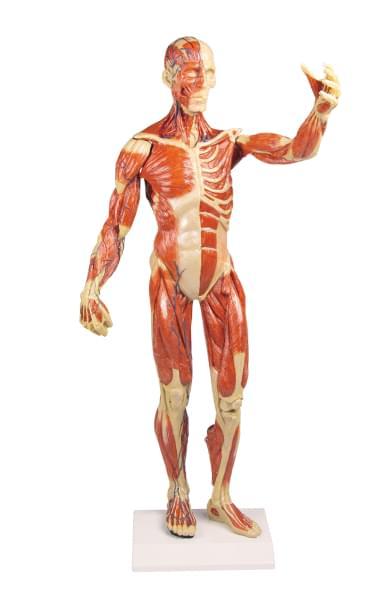 B90 - Postava se svaly, 1/3 životní velikosti