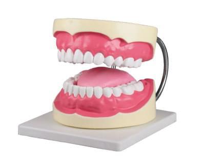 D216 - Model pro ústní hygienu, 3× zvětšený