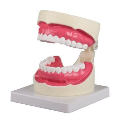 D217 - Model ústní hygieny, 1,5× zvětšený