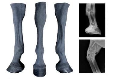 Koňské palpační, radiologická končetina