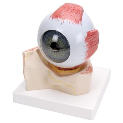 F11 - Model oka v kostěném očním důlku