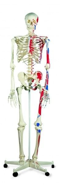 A11 - Kostra Max s vyznačením svalových úponů, pětinohý poj.stojan