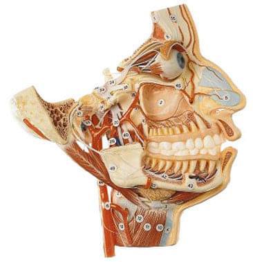 BS 16 - Nervy a cévy obličejové části lebky
