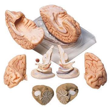 BS 20 - Mozek