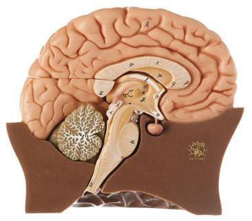 BS 20/1 - Polovina mozku