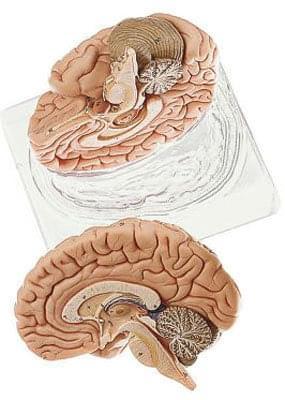 BS 21 - Mozek