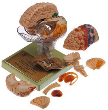 BS 25/1 - Mozek s označenými cytoarchitekturálními oblastmi