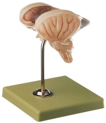 BS 25/2 - Mozkový kmen - 8 částí