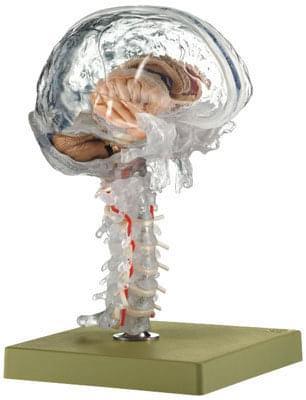 BS 25/T - Průhledný model mozku