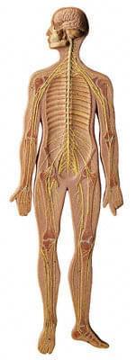BS 27 - Nervový systém