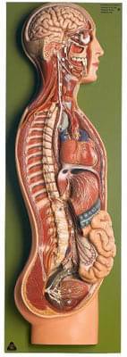 BS 26/1 - Sympatický nervový systém