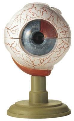 CS 4 - Oční bulva