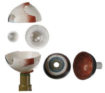 CS 5 - Oční bulva