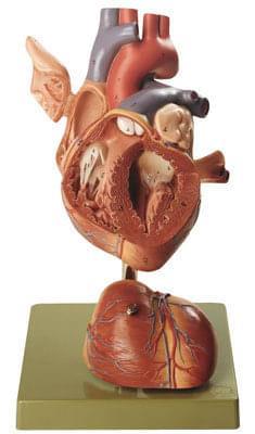 HS 5 - Srdce