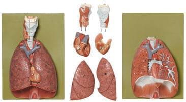 HS 7 - Plíce, srdce, bránice a hrtan