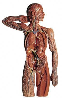 HS 19/1 - Lymfatický systém