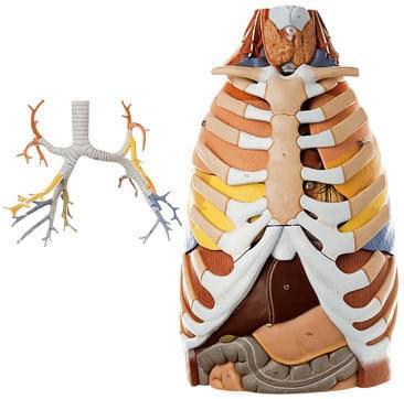 HS 21 - Anatomie hrudního koše