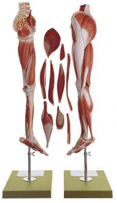 NS 10 - Svaly nohy a spodek pánve