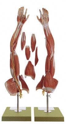 NS 15 - Svaly paže a pletenec ramenní