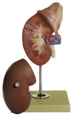 LS 1 - Pravá ledvina a nadledvinka