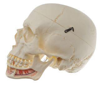QS 2 - Umělá lebka člověka