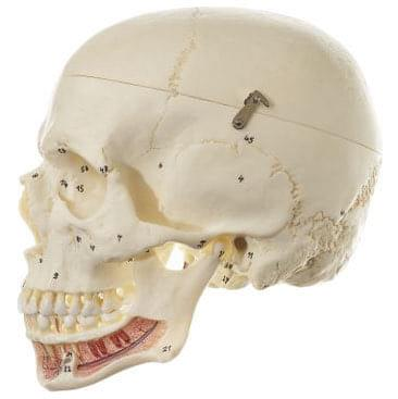QS 2/1 - Umělá lebka člověka
