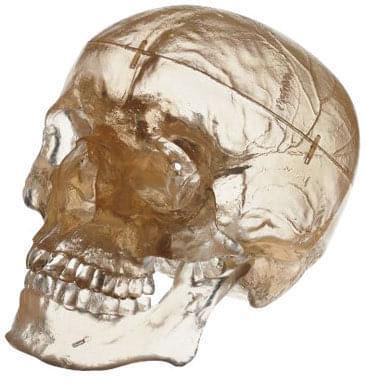 QS 7/T - Umělá lebka člověka - průhledný model