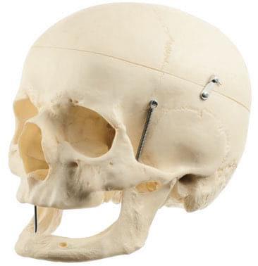 QS 7/7 - Umělá lebka člověka
