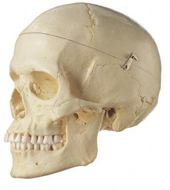 QS 7/6 - Umělá lebka člověka, žena