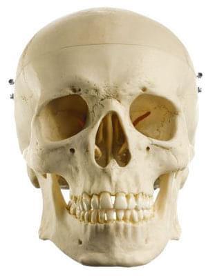 QS 7 - Umělá lebka člověka