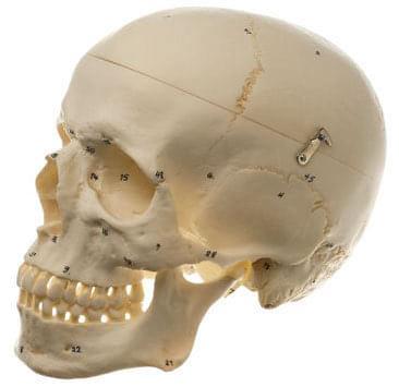 QS 7/1 - Umělá lebka člověka