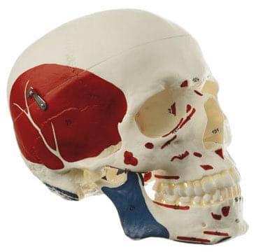 QS 7/5 - Umělá lebka člověka
