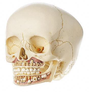QS 3/2 - Umělá lebka dítěte (přibližně 6 letého)