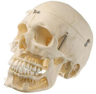 QS 8/10 - Umělá lebka dospělého člověka